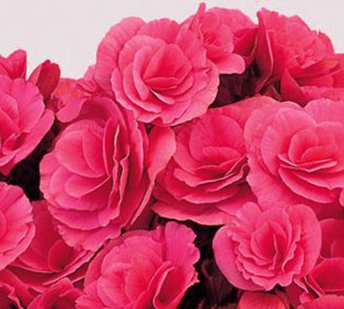 Flores De La Planta Begonia Elatior Flores Ideias Para Jardim