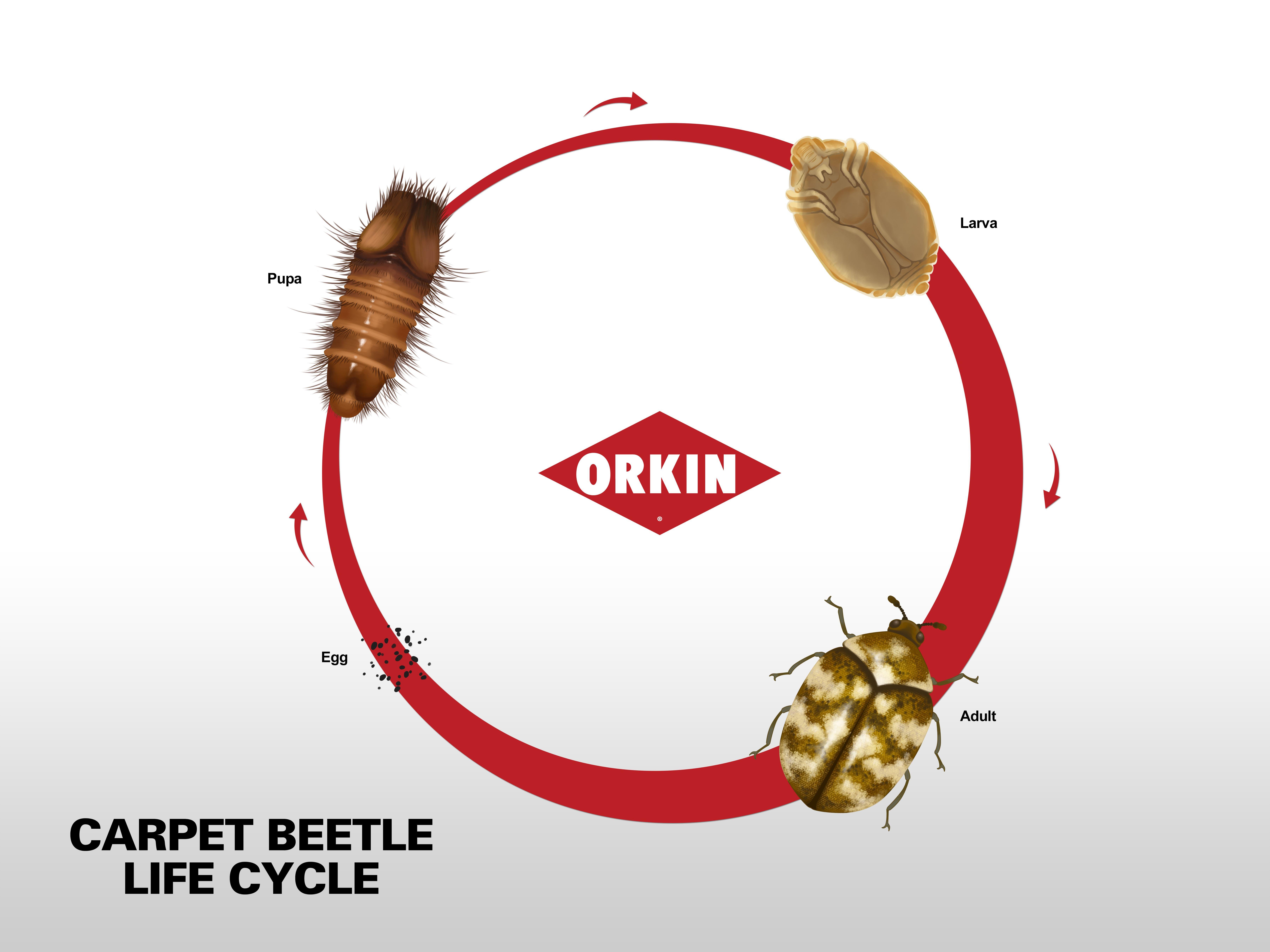 Varied Carpet Beetle Life Cycle in 2020 Carpet beetle