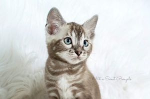 Bengal Kittens & Cats for Sale Near Me   Wild & Sweet Bengals