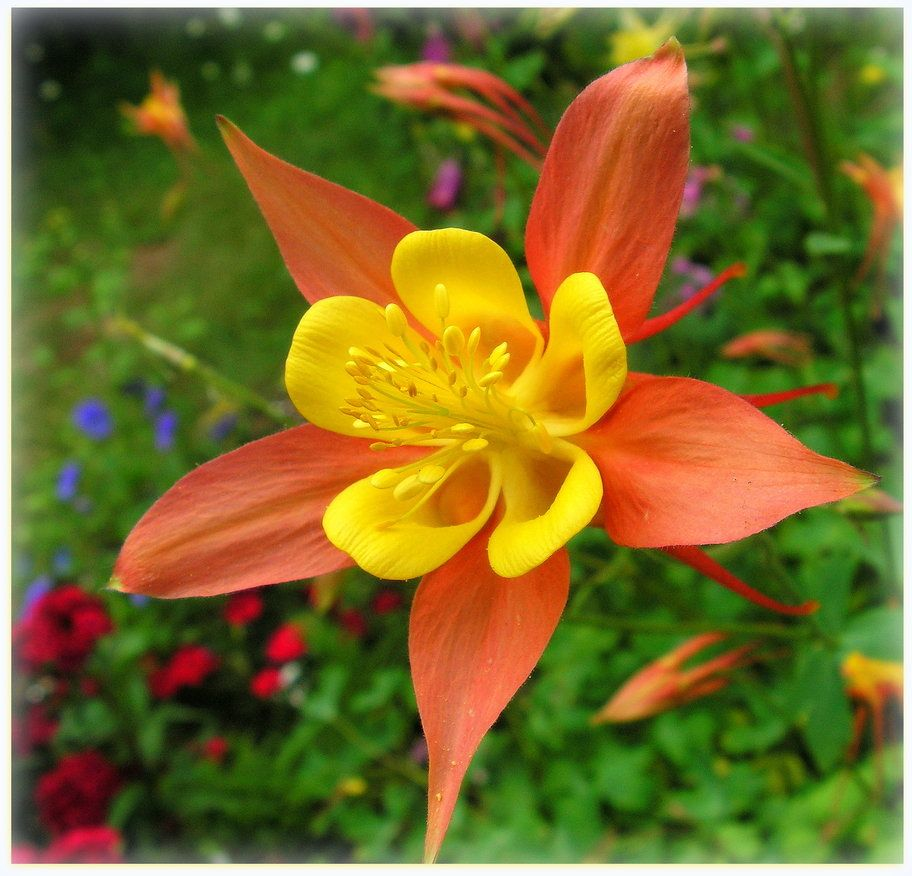 Orange And Yellow Columbine Flower Photography Yellow Flowers