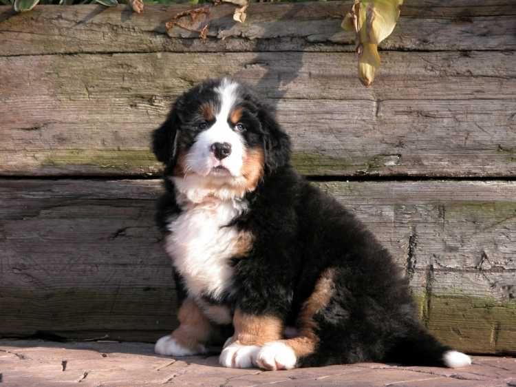 Popular Bernese Mountain Dog Chubby Adorable Dog - ba0d887ea9a4cd245fa76c6f92b98b59  Snapshot_74289  .jpg