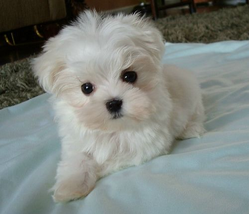 What A Face Puppies Maltese Puppy Cute Animals