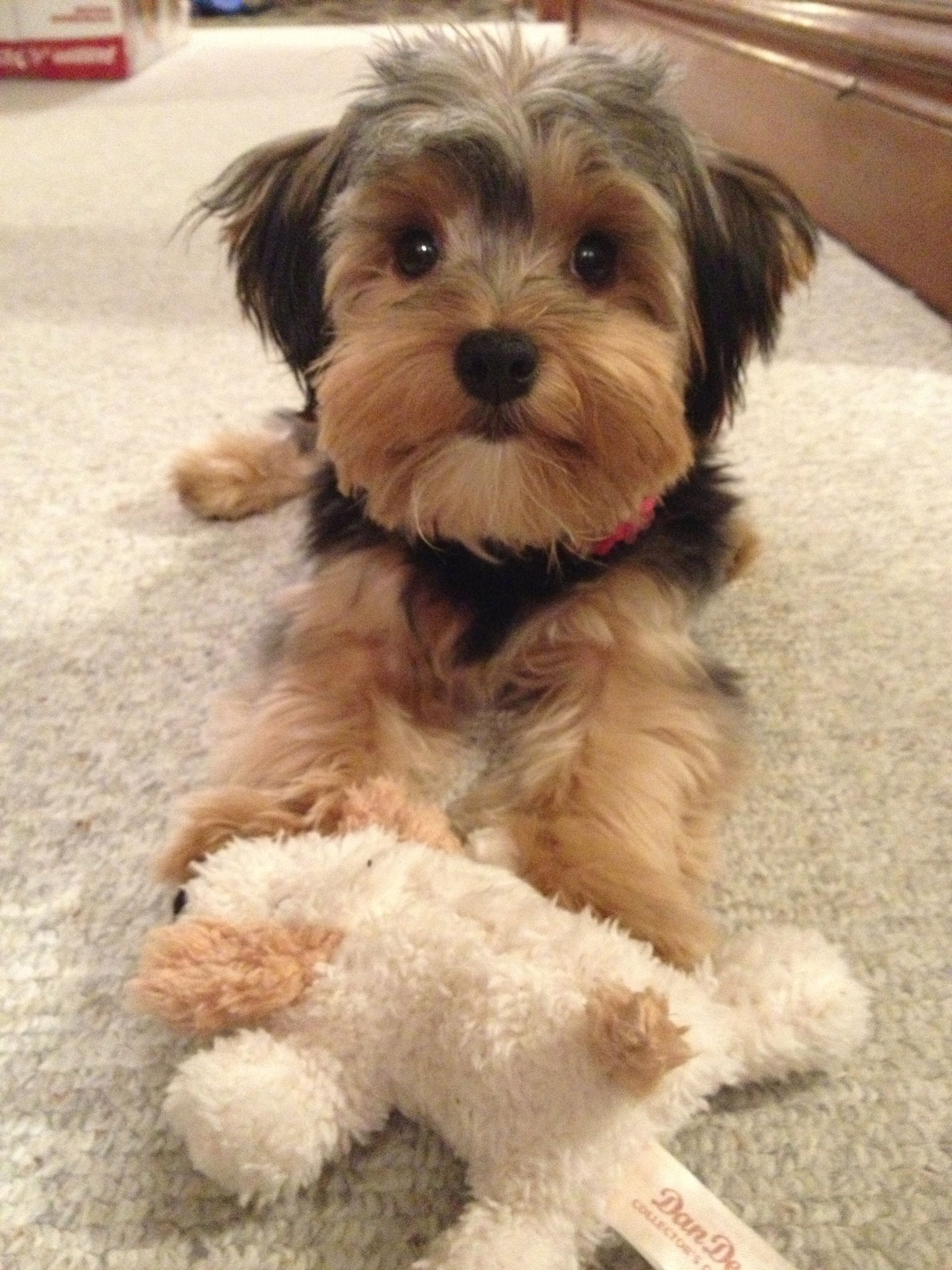 Pin By Marianne Williams On Ruby 3 Yorkie Poo Haircut Yorkie Poo Morkie Puppies
