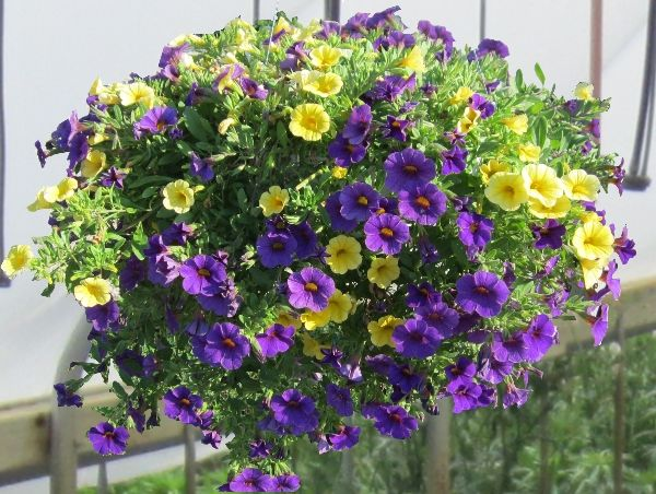 Love The Purple And Yellow Combination In This Calibrachoa Mini