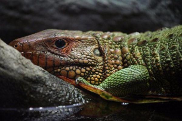 Iguana Pet A Man Holding A Iguana On His Hands As His Pet Aff Man Pet Iguana Hands Iguana Ad Iguana Pet Animals Iguana