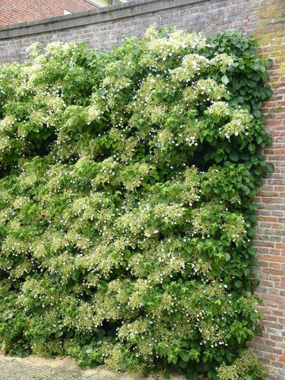 Hortensien richtig schneiden und pflegen Garten