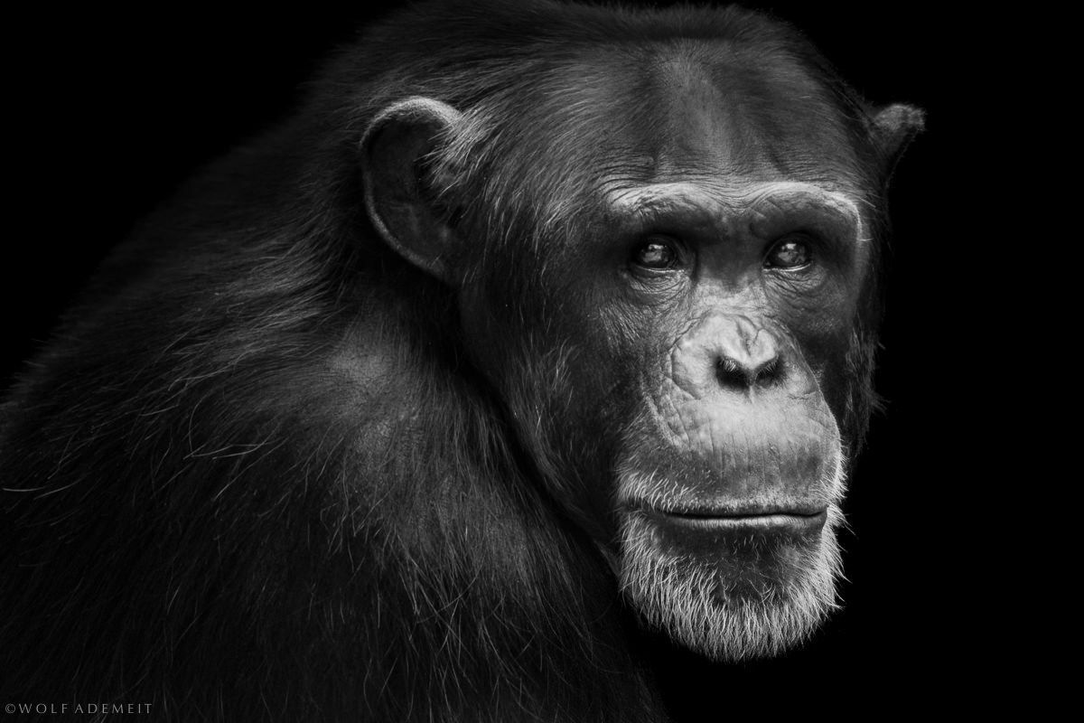 chimpanzees - Wolf Ademeit, born 1954, lives in Rheinberg, Germany. The author prefers calling himself a hobbyist, though his professional life has been always closely connected with this field – he owns an advertising agency and a photo studio. Wolf Ademeit first took interest in photography when studying lithographer's craft and it's been his passion since, for more than 30 years now.