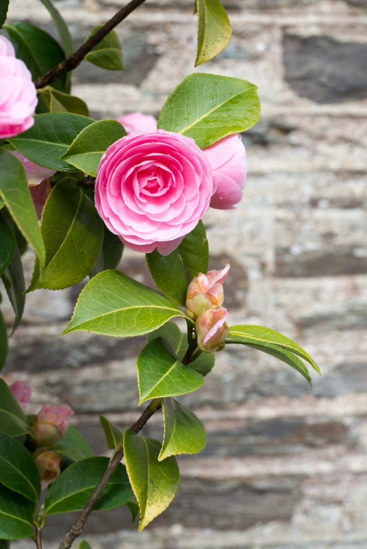Landscaping Ideas The Case For Camellias Gardenista Garden Design Pictures Red Plants Edible Garden
