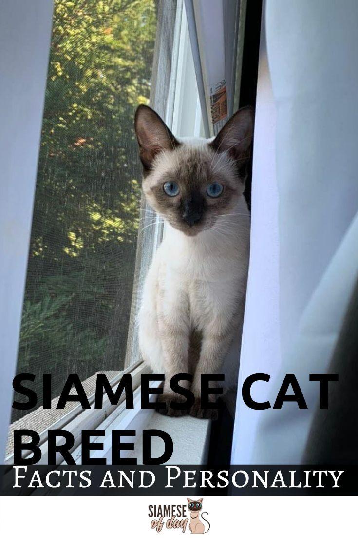 Siamese Cat Personality and Behavior in 2020 Siamese