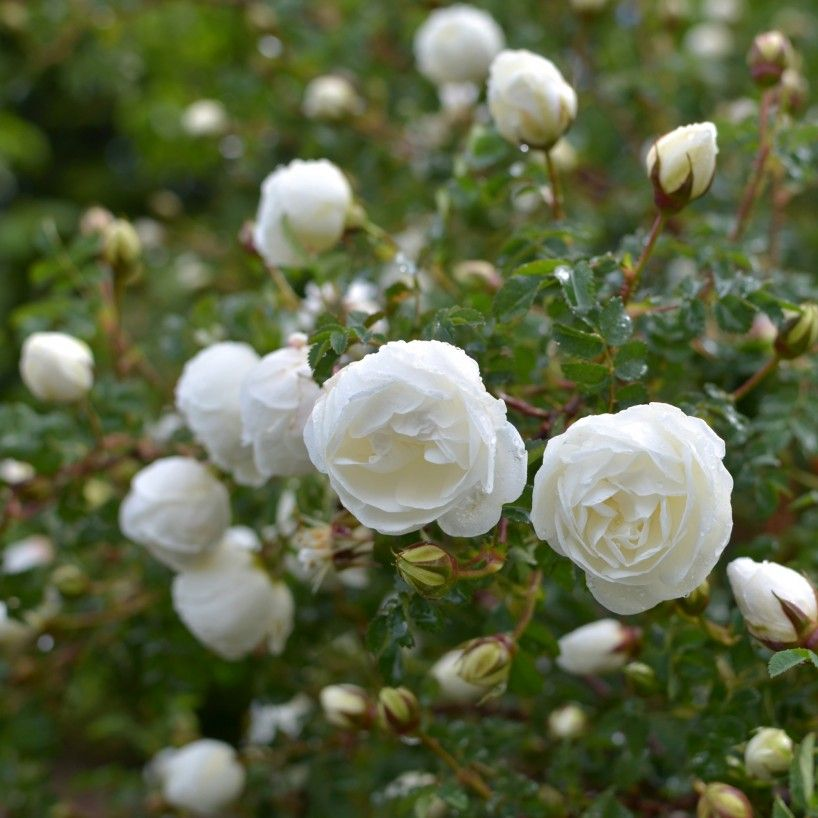 R Spin Double White 39 Highly Recommended Popular Searches Rose Hedge David Austin Roses Wild Roses
