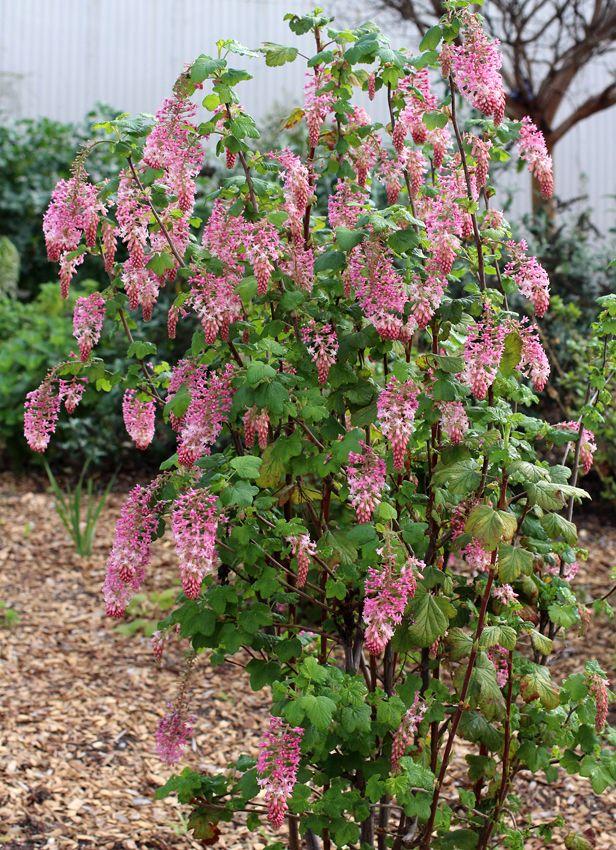 ribes sanguineum claremont pink