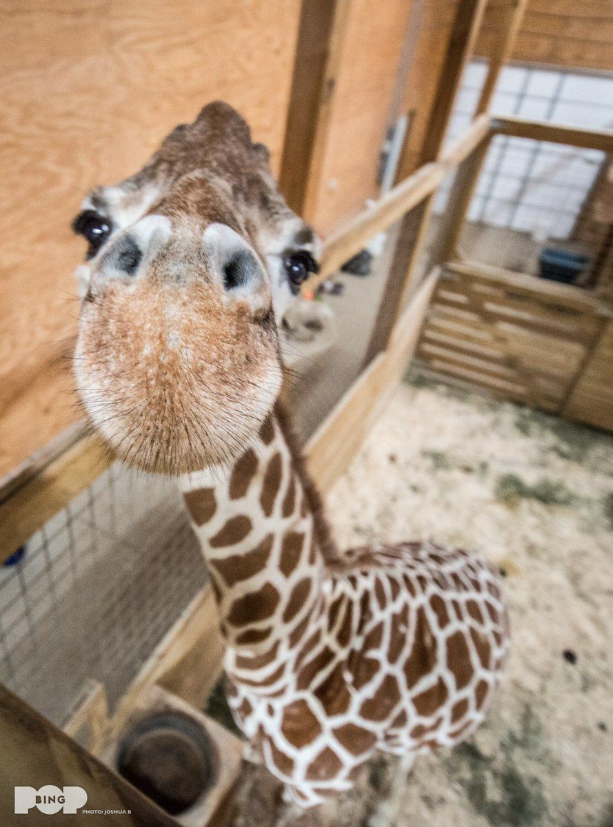 April the giraffe s live stream went down this afternoon sparking fears that the pregnant giraffe may have been giving birth offline