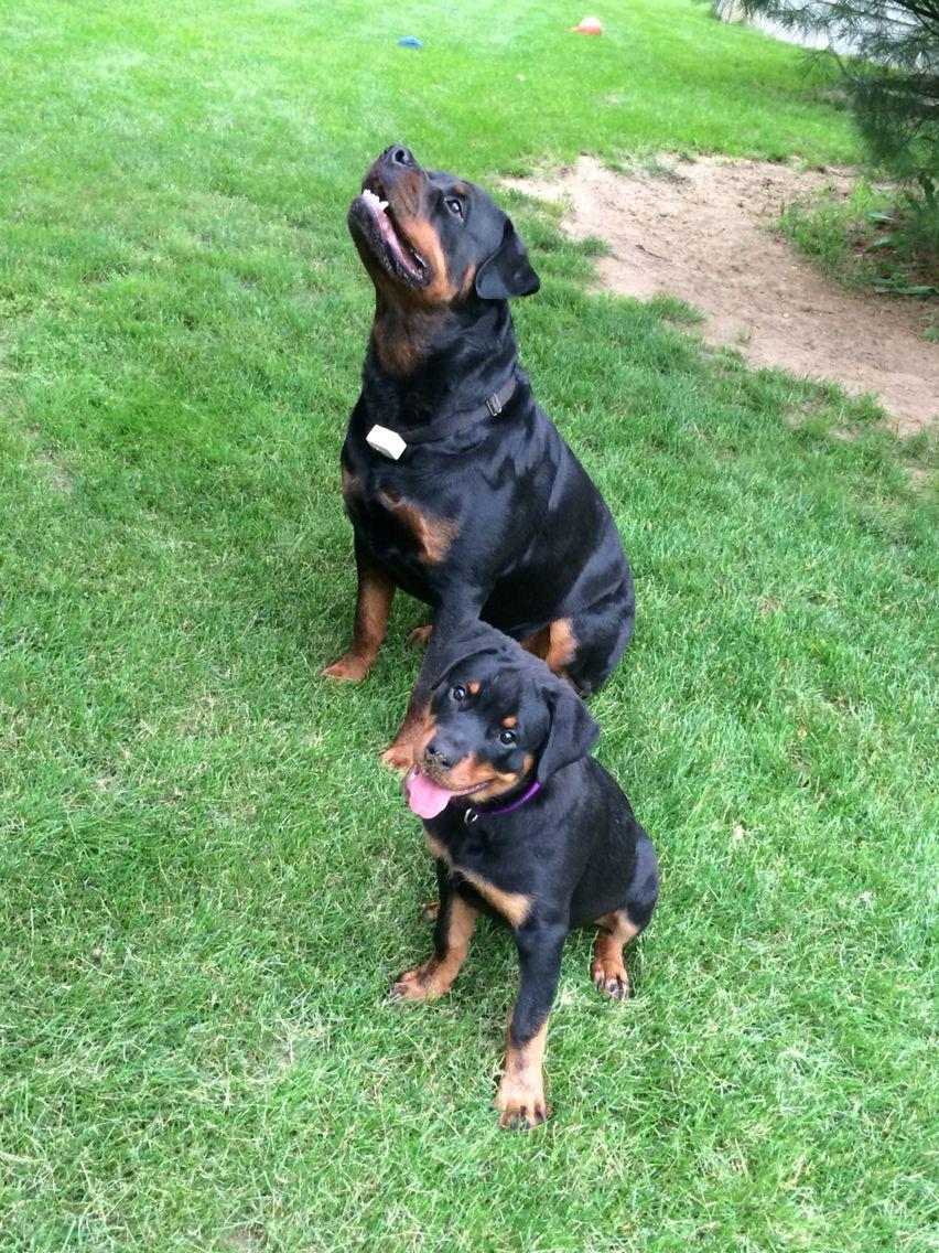 Big girl now Rottweiler puppies, Rottweiler lovers, Puppies