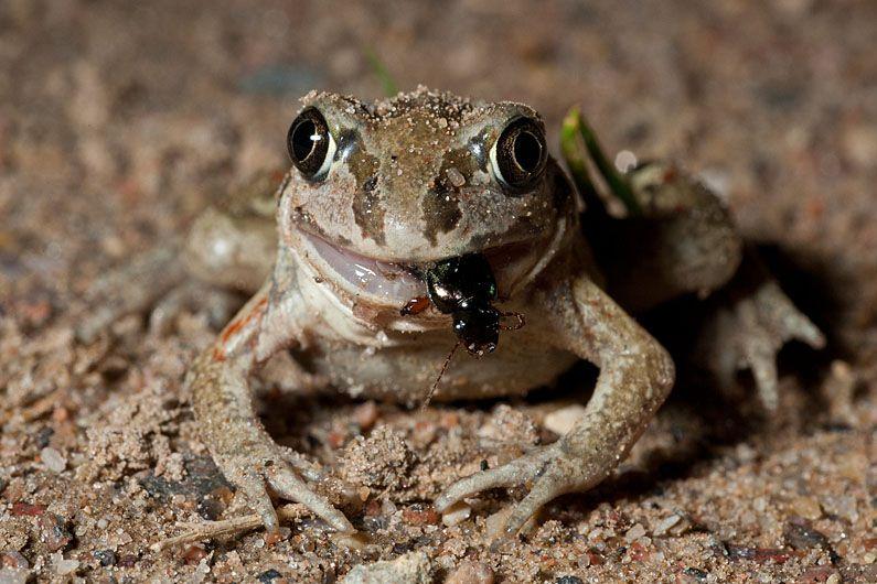 European Toad eating a beetle