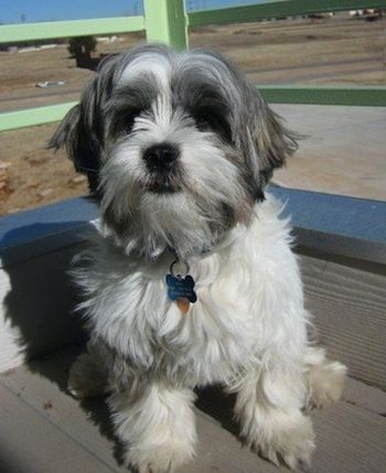 A White With Grey Jack Tzu Is Sitting On A Porch Shih Tzu Shih