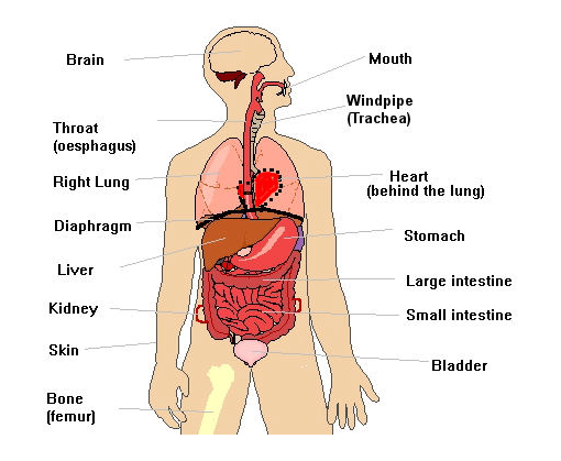Human body english vocabulary pinterest for Interno en ingles