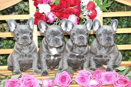 French Bulldog puppy for sale in MARYSVILLE, WA. ADN-30726 on PuppyFinder.com Gender: Male. Age: 2 Weeks Old