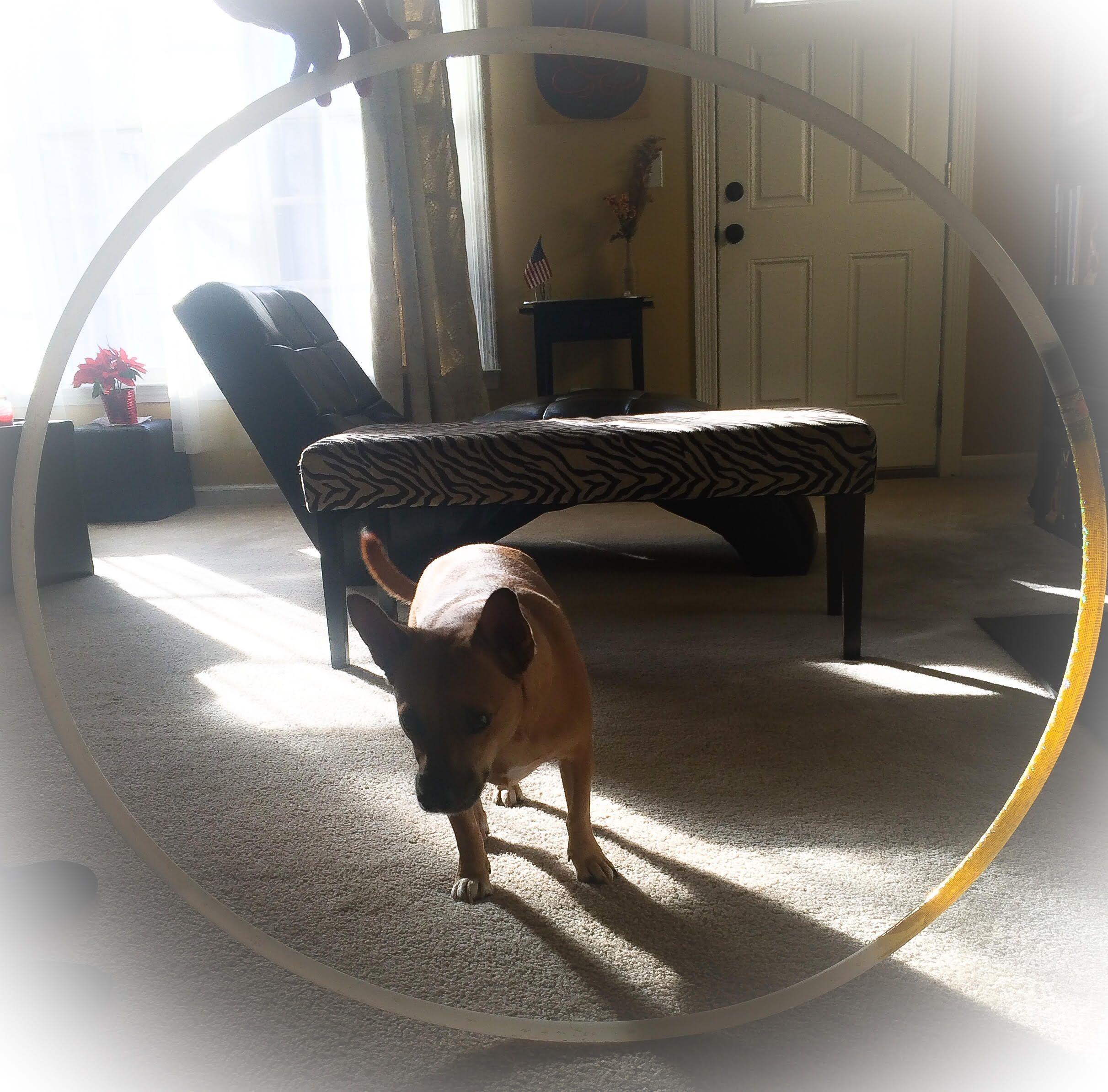 Diy indoor dog obstacle course indoor dog dog agility