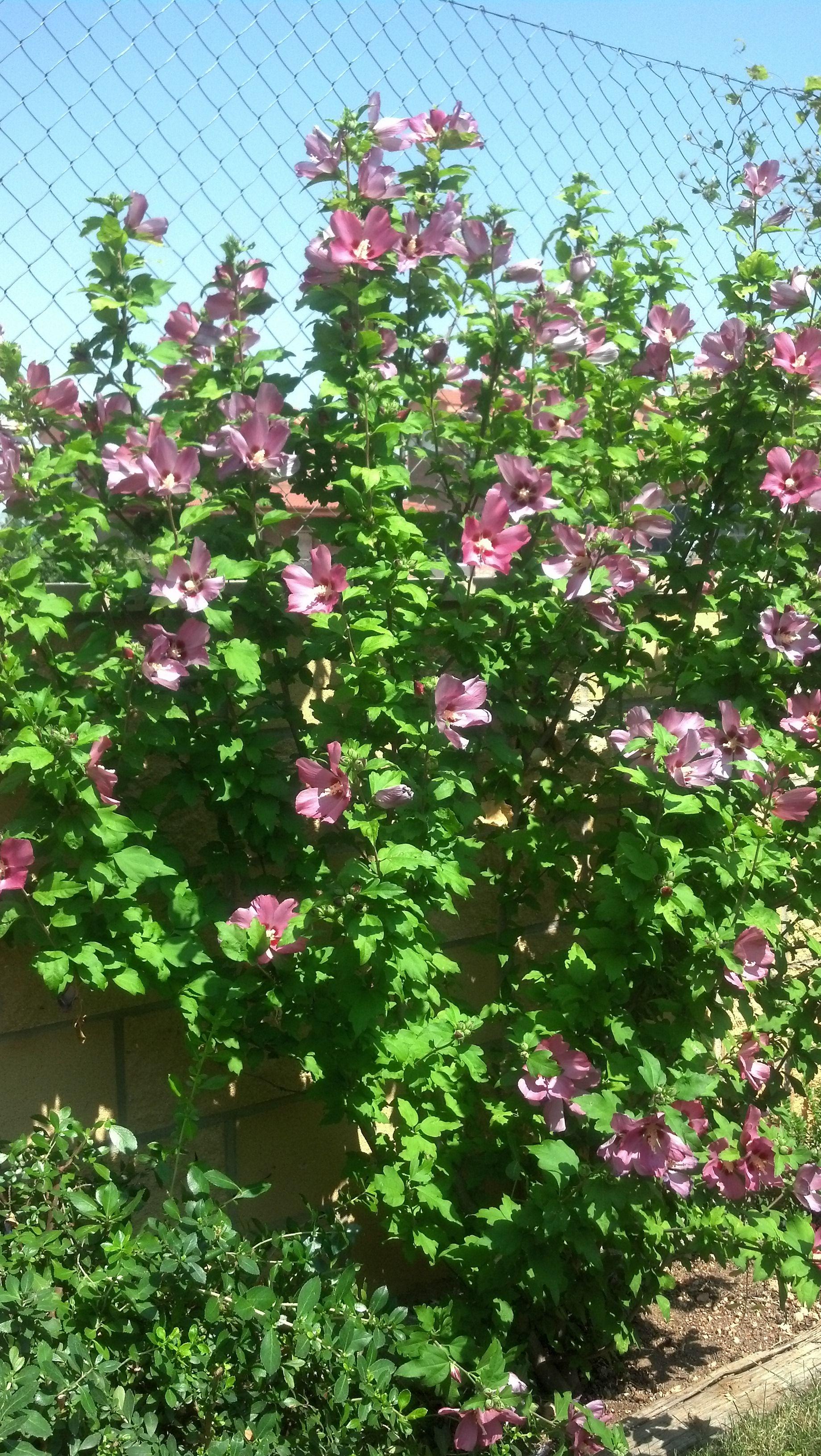 Hibisco de invierno de color rosa. Arbusto de hoja caduda. Resiste ...