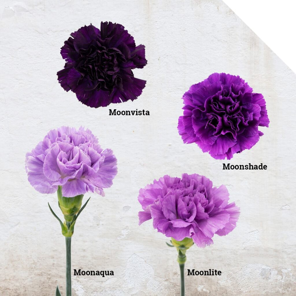 Moon Series Carnations From Florigene Holex Flower Blog Carnation Wedding Flowers Purple Carnation Bouquet Flower Bouquet Wedding