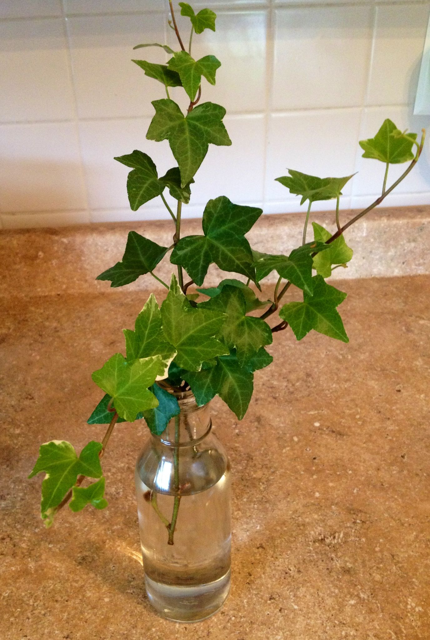 how to start ivy cuttings in water