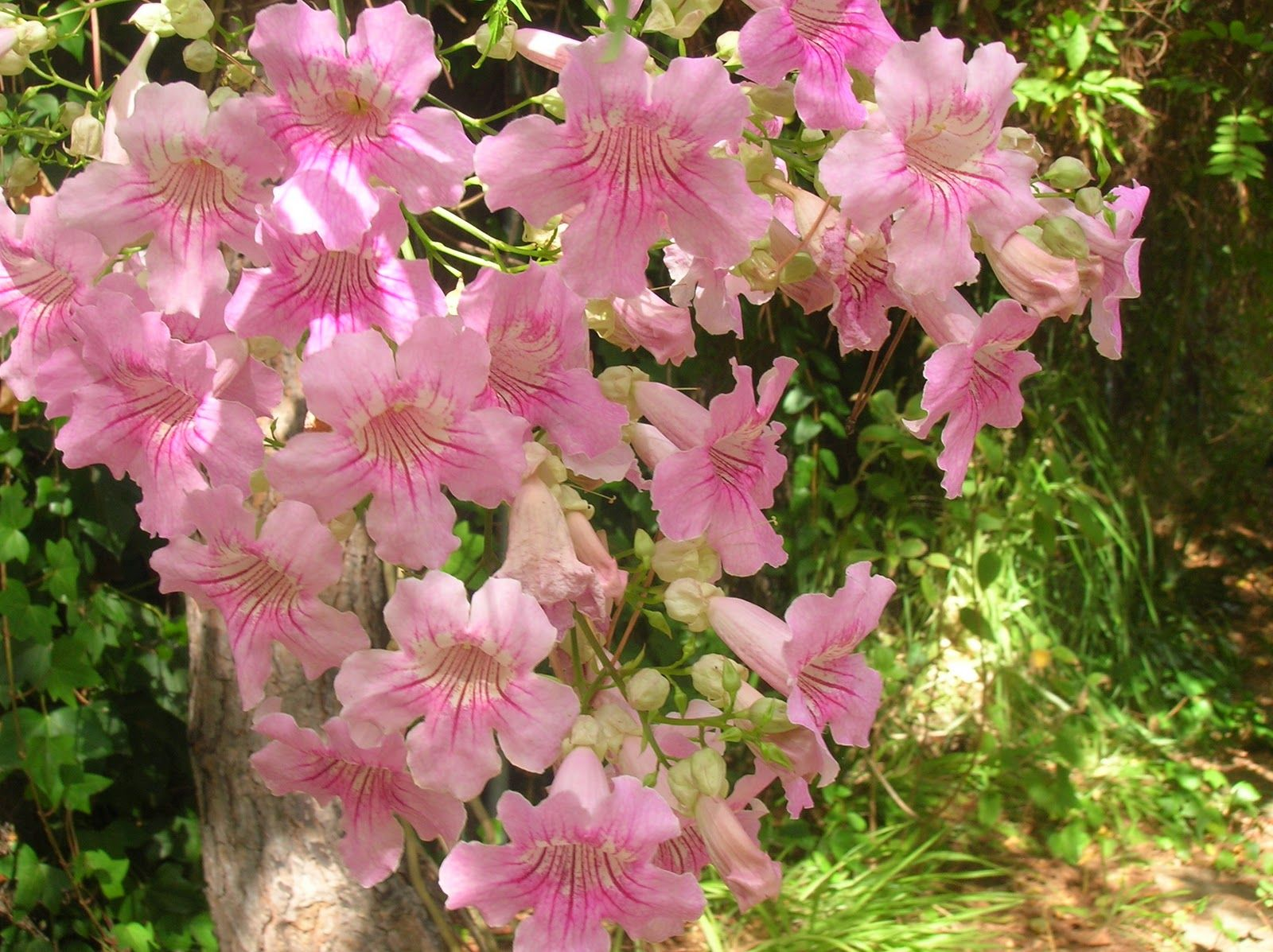 hong kong orchid tree bauhinia blakeana orchids u0026 flowers