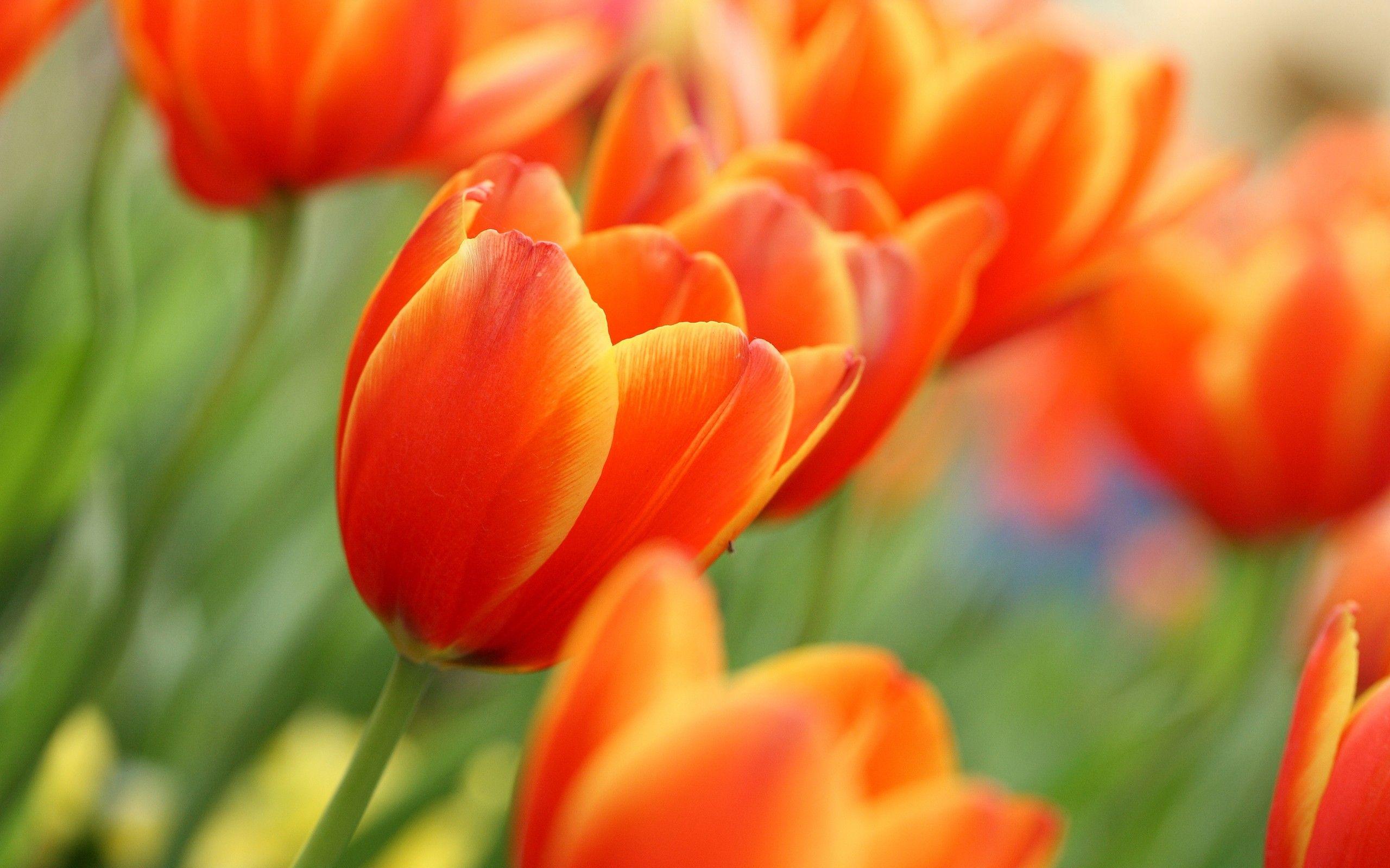 Tulips Tulips Flowers Beautiful Flowers Pictures Orange Tulips