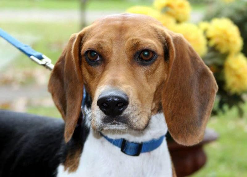 Beagle rescue pittsburgh