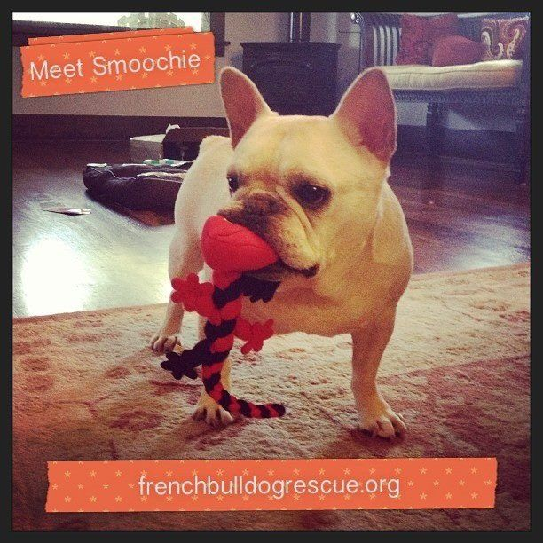 Pin by batpigandme on Frenchie Friends Being Fuzzy
