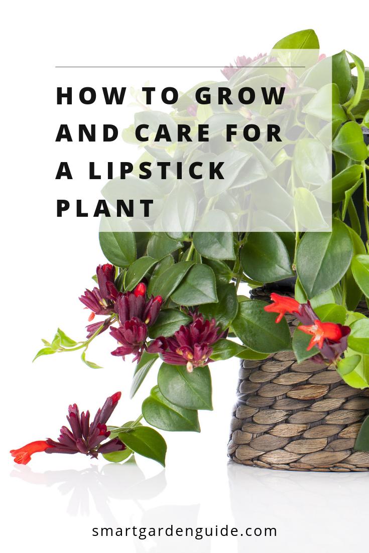 Lipstick Plant Care Guide How To Grow A Lipstick Plant