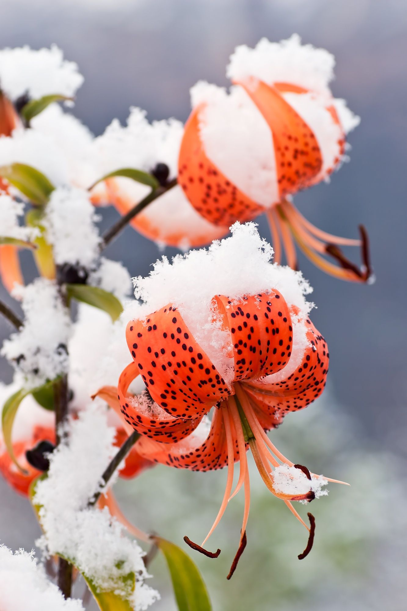 Early snow on late blooming tiger lillies, in South Central