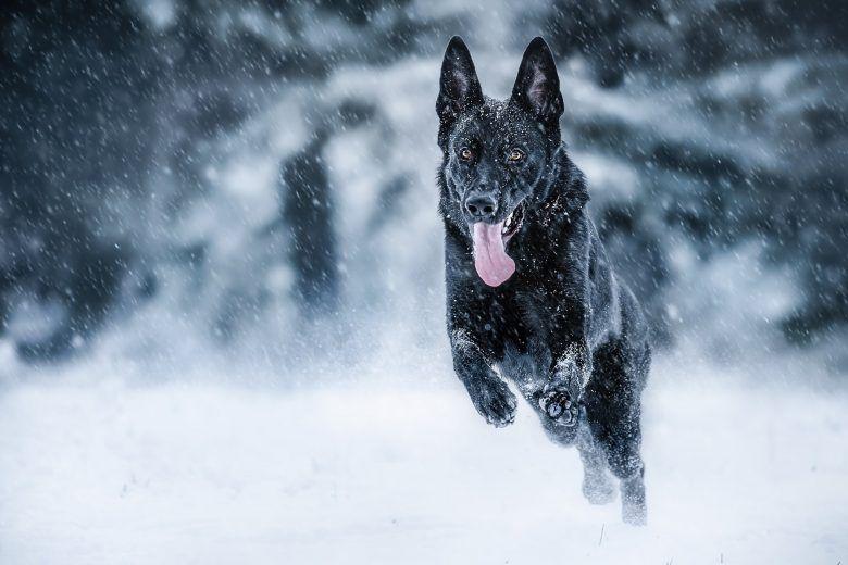 صور كلب الراعى الالماني German Shepherd Puppies Shepherd Puppies Black German Shepherd