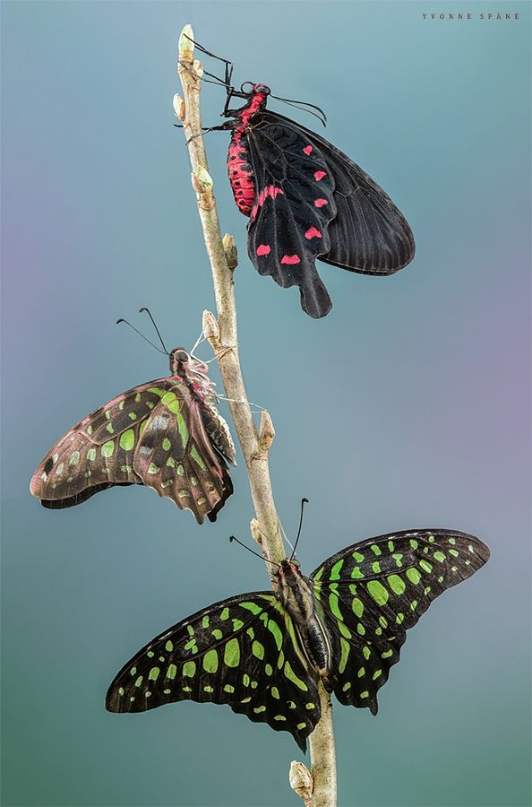 ~~Species • two different species of butterflies but all three are swallowtails • by Yvonne Spane...⭐...