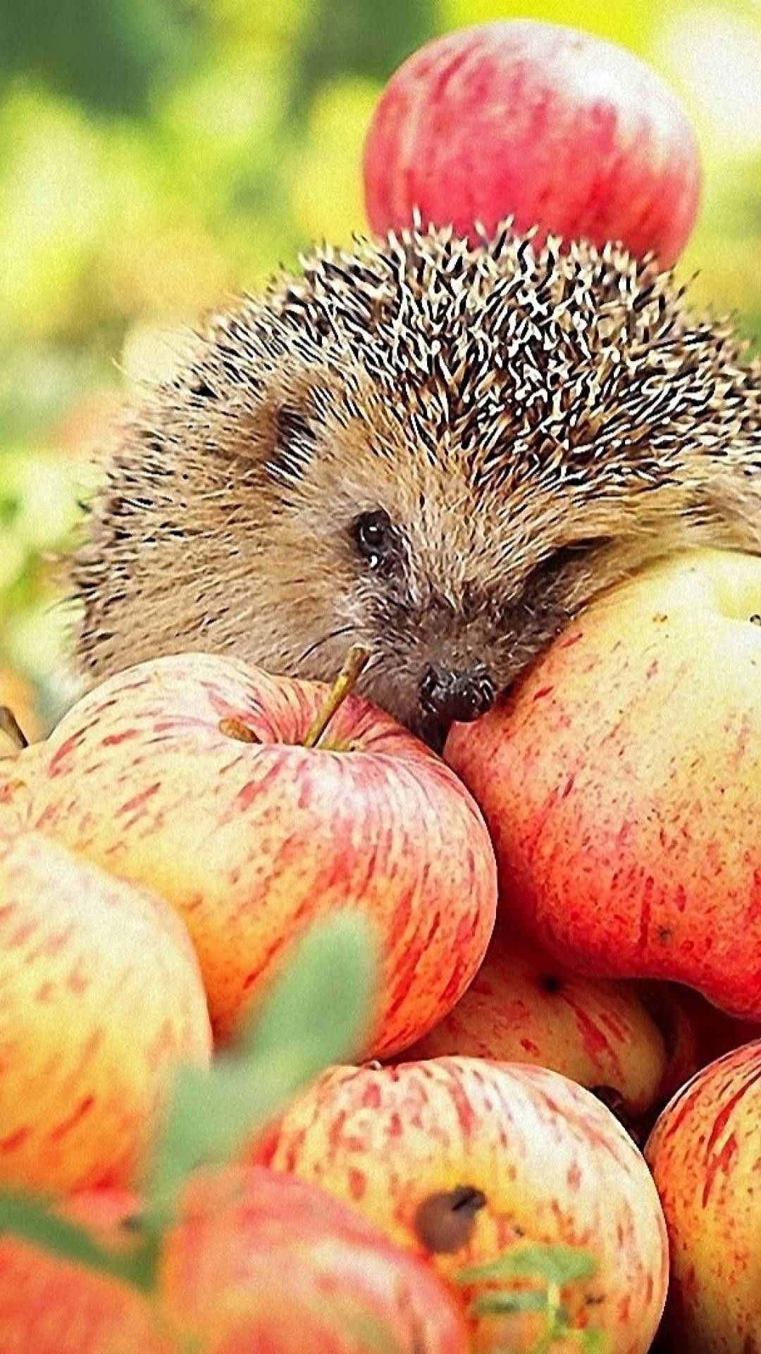 Hedgehog Wallpapers 03 Best Free Hedgehog Images For Mac Amazing Hd Wallpapers Wallpaper Image