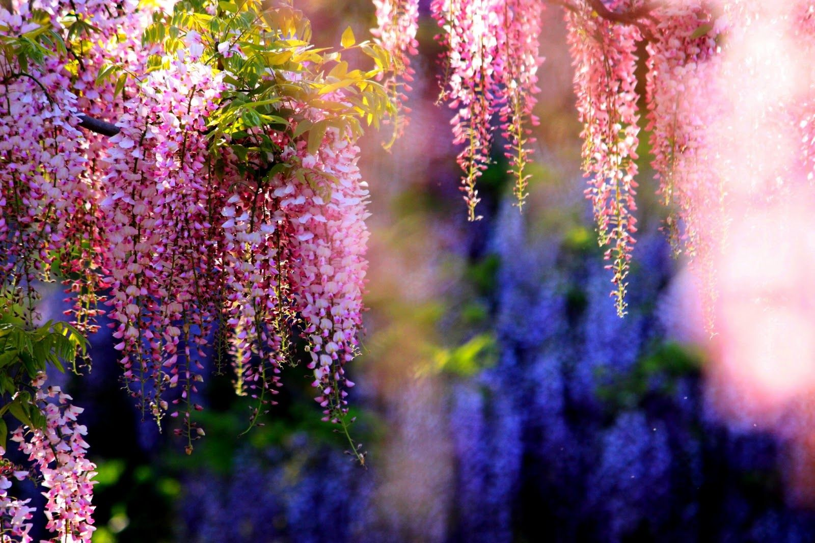 Wisteria Tree Wallpaper Xhorni Com Botanical Enchantment Wisteria Tree Wisteria Plants