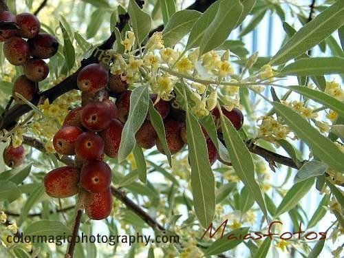 Oleaster Or Persian Olive Or Russian Olive Elaeagnus Angustifolia Russian Olive Tree Fragrant Plant Aromatic Plant