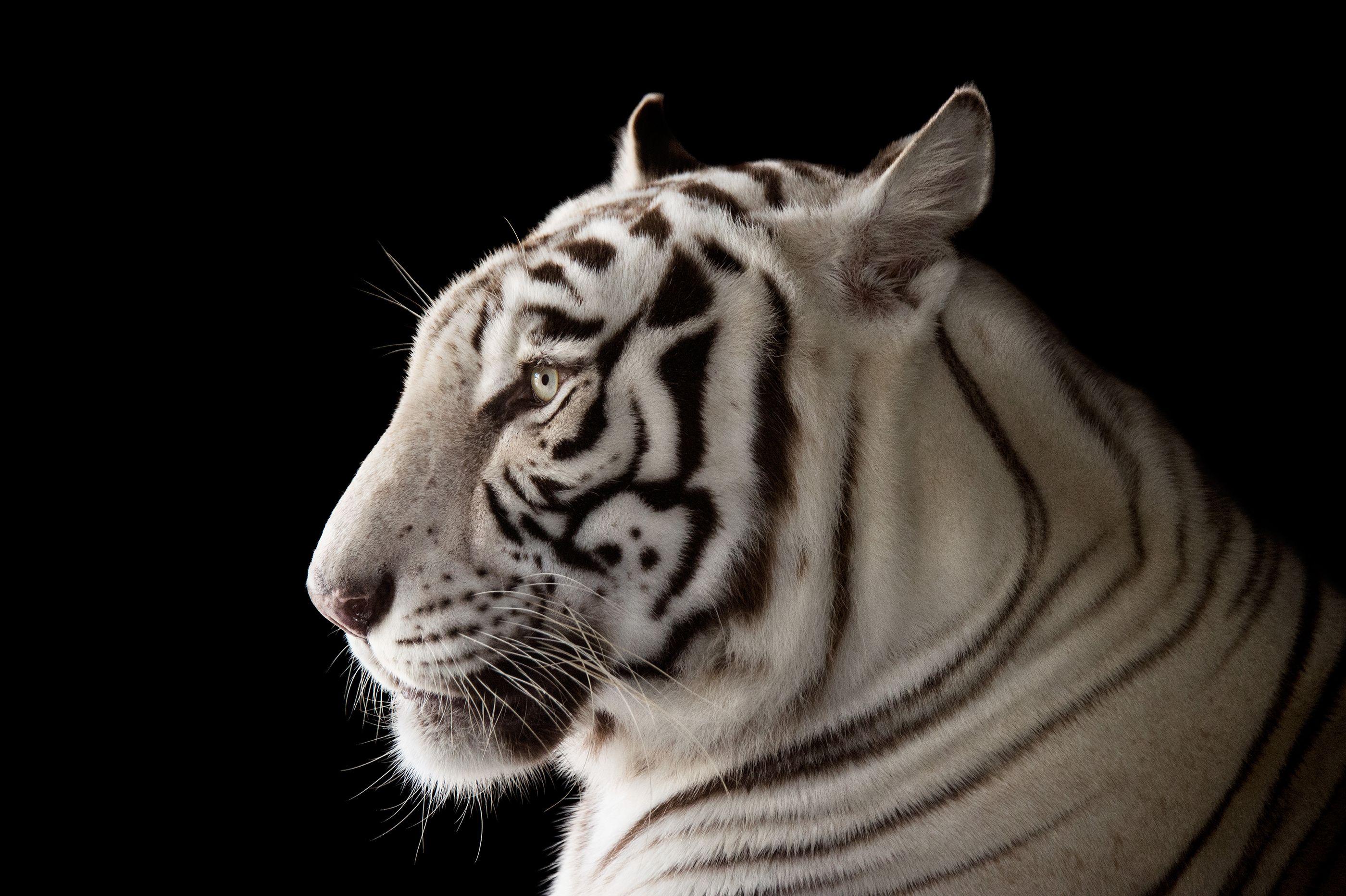 Endangered White Bengal Tiger, Panthera tigris tigris