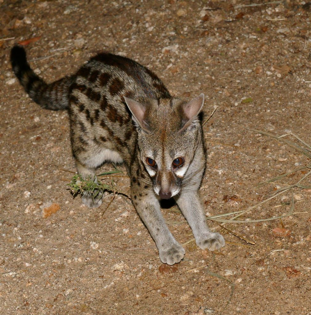Largespotted tigrina) Cat species