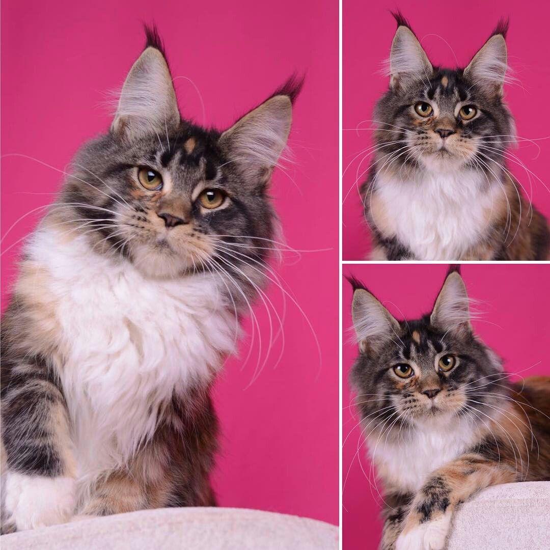 Udacha AkellaLeader girl, f 09 22 Pretty cats, Cats
