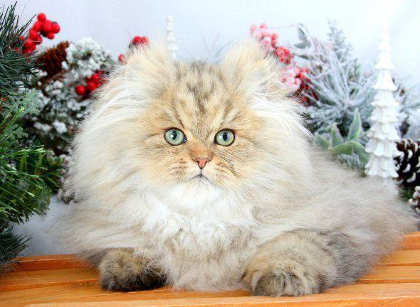 Chinchilla Golden Teacup Persian Kitten Teacup persian