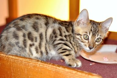 San Diego Bengal Kitten For Sale Kittens Bengal Kittens For Sale Kitten For Sale