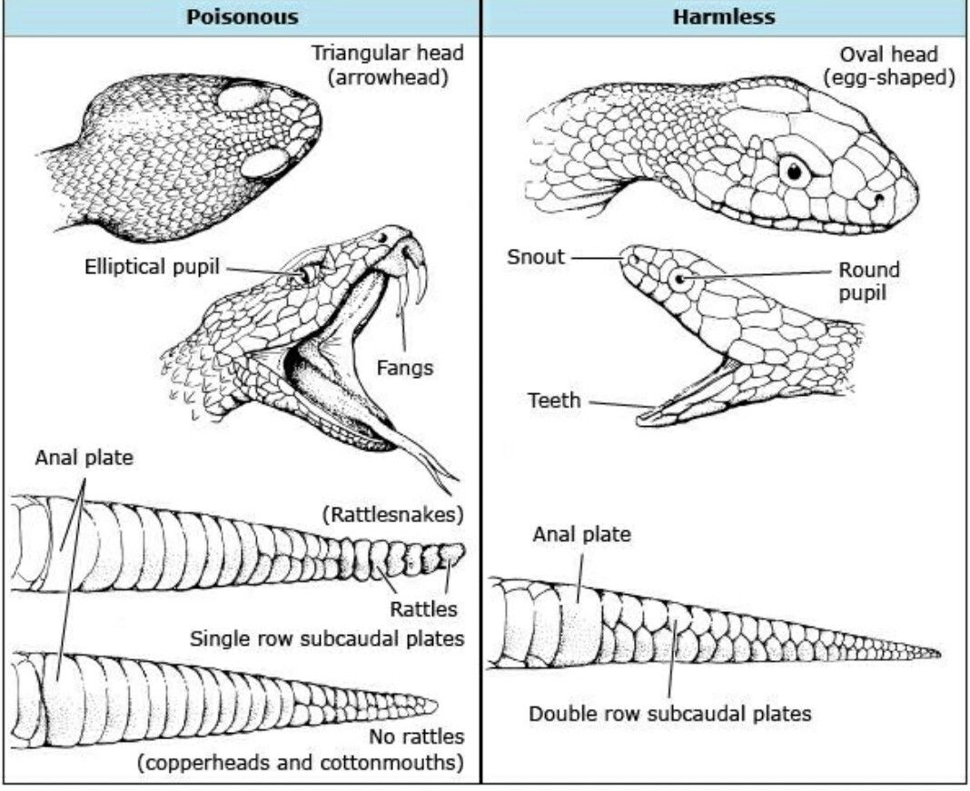 A Few Tips On How To Tell A Venomous Snake From A Non Venomous Snake Snake Drawing Snake Venom Snake