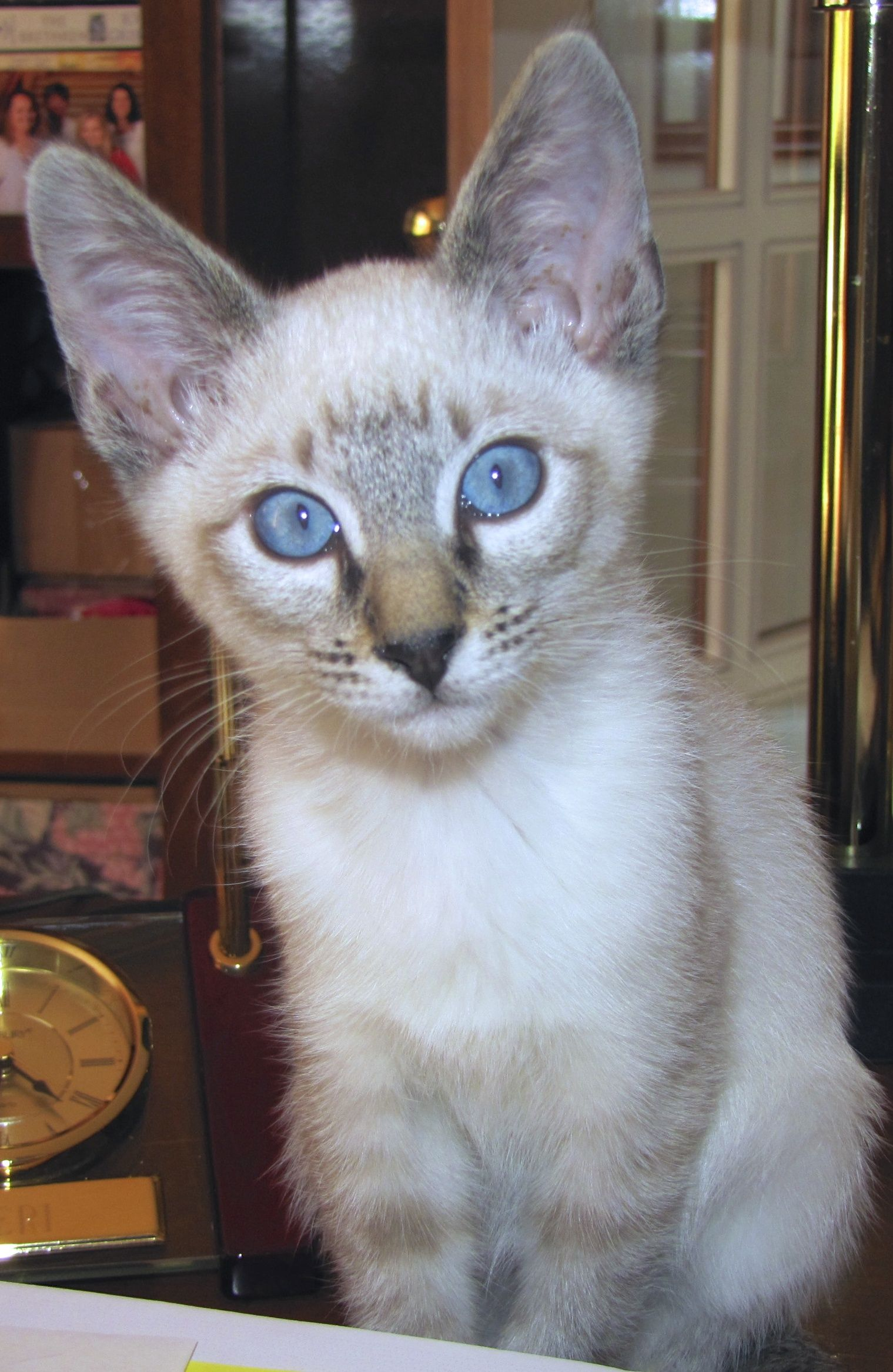 Sami....Seal Lynx Point Siamese | ANIMALS | Pinterest | Siamese ...