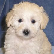 About Teddy Bear Schnoodles Schnoodle Schnoodle Puppy Miniature Schnoodle