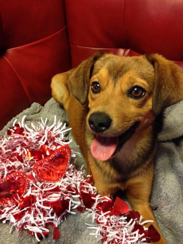 Adopt Fox on Dogs, Fox, Labrador retriever