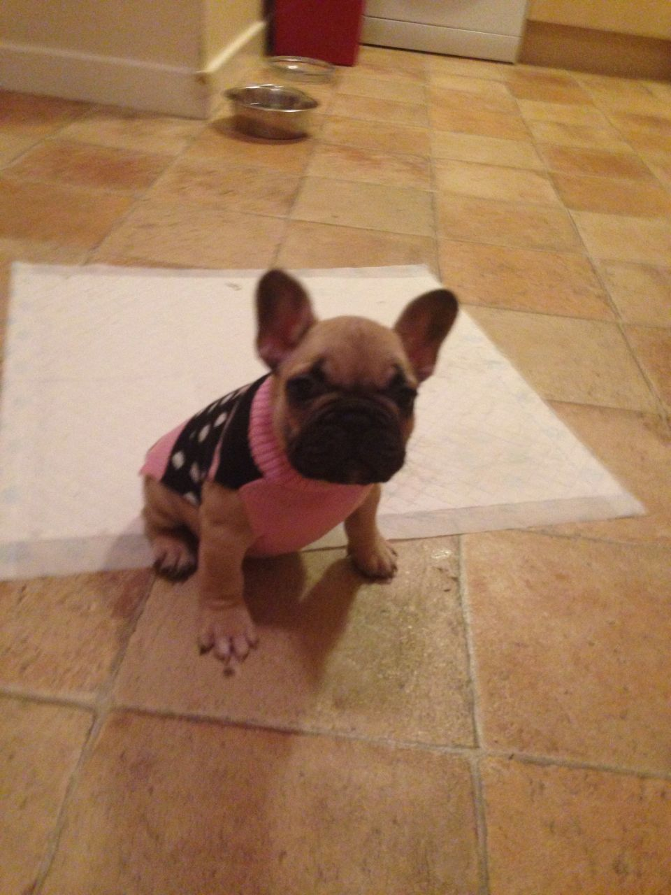 teacup french bulldog full grown Google Search