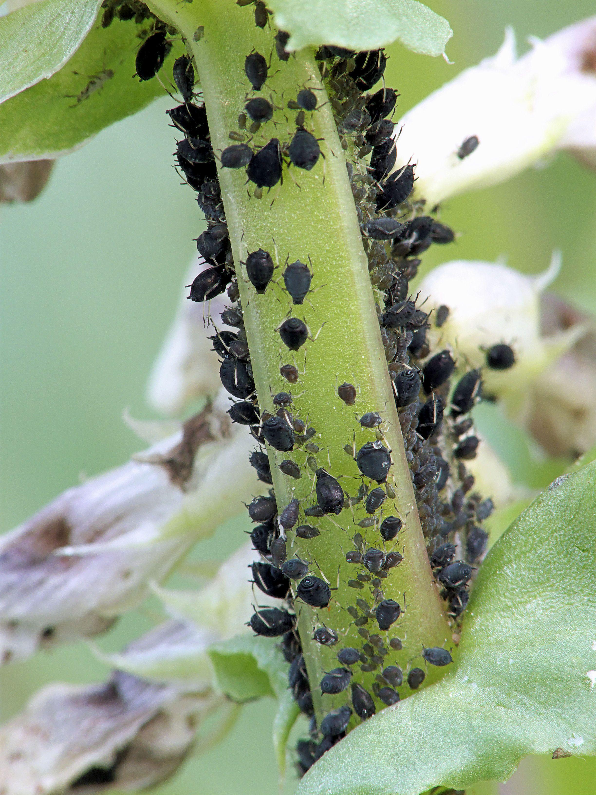 Free Plant Identification Plant Pests Black Bean Plant Free Plants