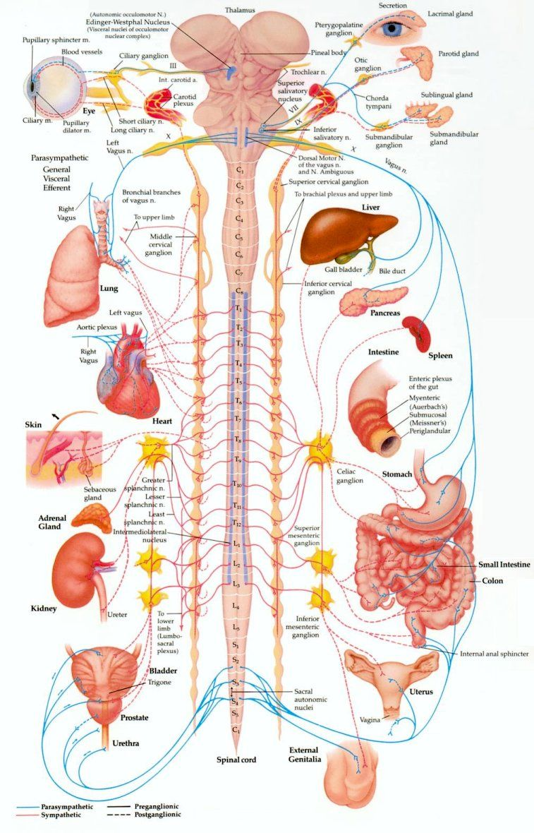 Vertebral subluxations affect the MUSCULOSKELETAL SYSTEM as well as ...