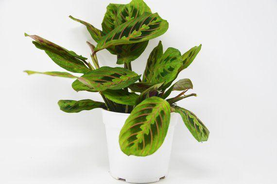 Maranta 'Herringbone' / houseplantshop / $8 95 | Plants | Plants