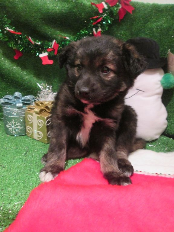 Border Collie X Shiba Inu designer mixed breed puppies for